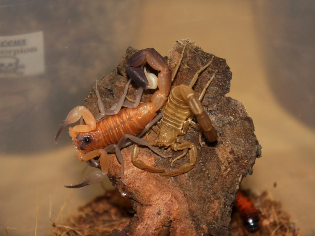 Who molted today? (Scorpion molting pics) DSC09523_zpsf156b8a7