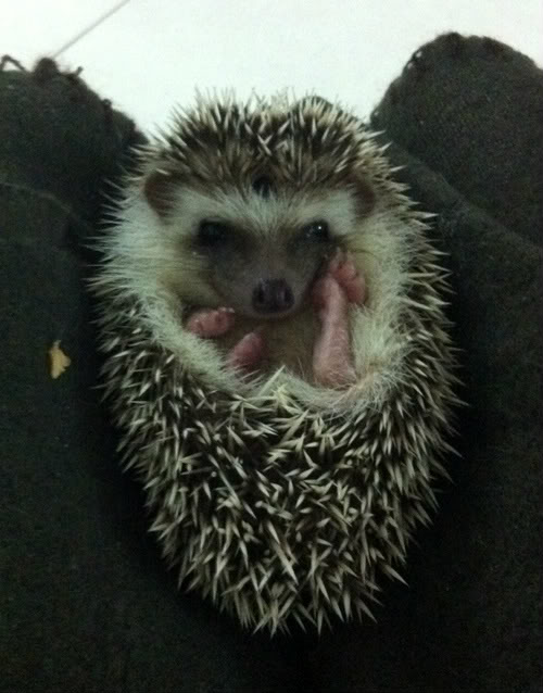 Rocky & Rosie, my lovely hedgehog Photo1