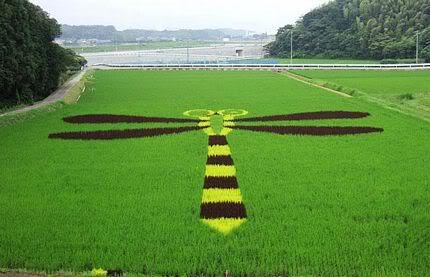 Những bức tranh độc đáo trên các cánh đồng lúa ở Nhật Tn_canhdong4897