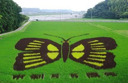 Những bức tranh độc đáo trên các cánh đồng lúa ở Nhật Tn_canhdong4899