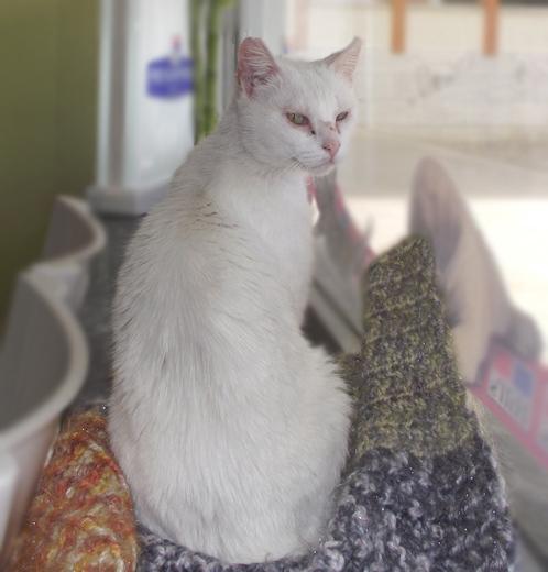 [Adoptada] Lima, gata branca felpuda - Lisboa / Margem Sul Lima2_2