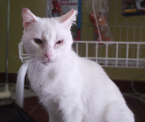 [Adoptada] Lima, gata branca felpuda - Lisboa / Margem Sul Lima6_2