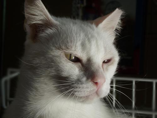 [Adoptada] Lima, gata branca felpuda - Lisboa / Margem Sul Lima7_2