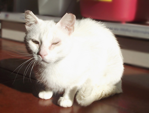 [Adoptada] Lima, gata branca felpuda - Lisboa / Margem Sul Lima8_2