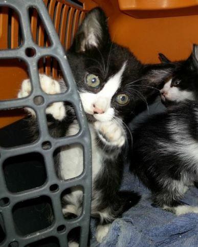 [Adoptados] 2 Gatinhos bebés, machos Gemeo2_zpsd05121eb