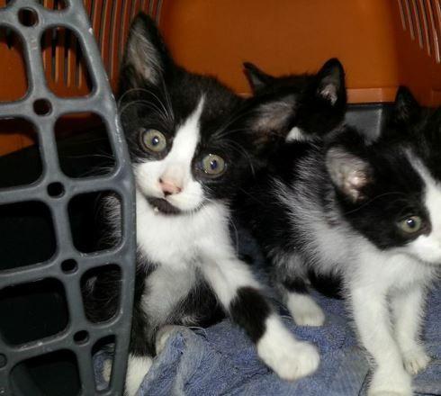 [Adoptados] 2 Gatinhos bebés, machos Gemeo_zpsf74dcbd6