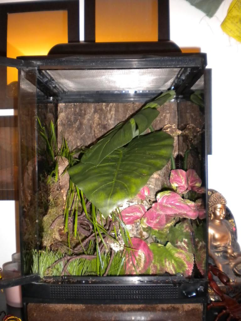 "Gromphadorinha oblongonota ""Wide Horned Hissers"" DSCN6643"