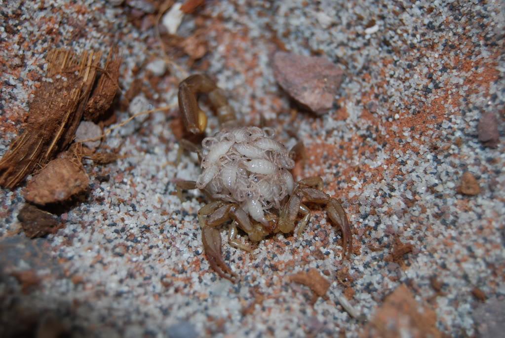 Paruroctonus boreus DSC_0085