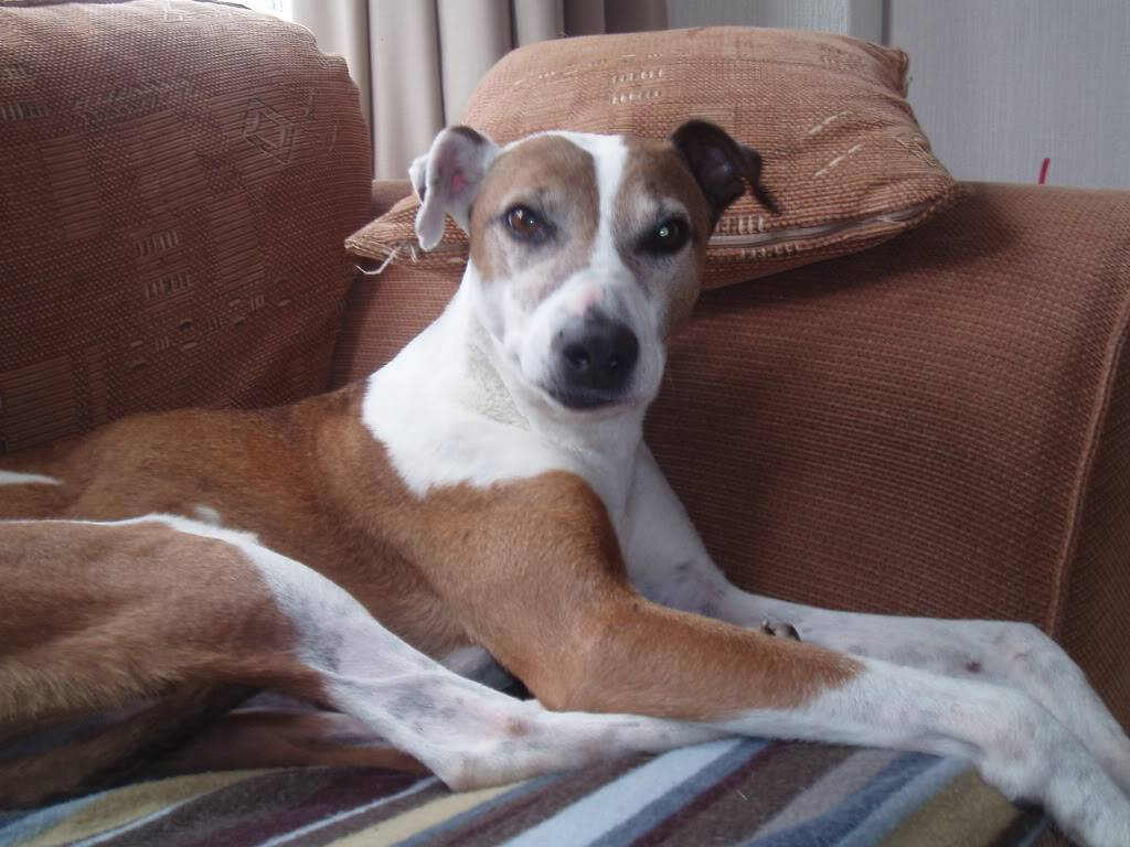 Pernod - calm, loving Lurcher, 5/6 yrs old Fostered by Four Paws Animal Rescue (South Wales) Pernodphotos065