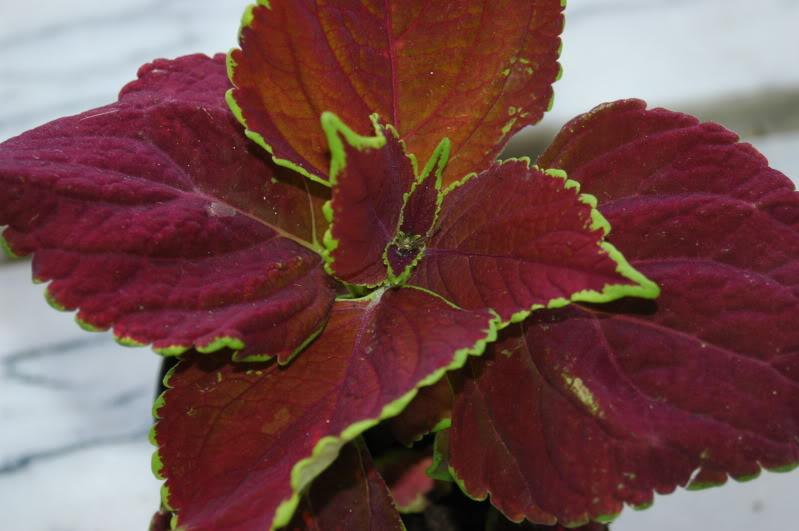 Imagens das Nossas  Plantas - Página 2 DSC_3191