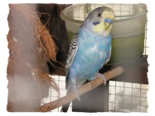 Burung Nuri & Kakak Tua Biru03