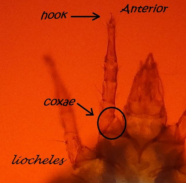 Study of predatory mite in scorpion's enclosure Anterior
