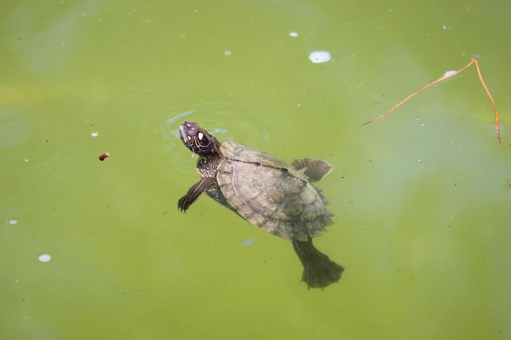 Aquaterrário---->Lago -Graptemys ouachitensis ouachitensis - Página 13 IMG_3710-1