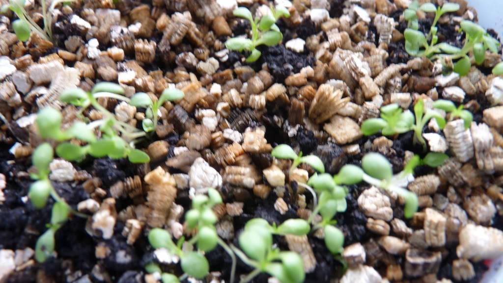 Les débuts de mon petit jardin.... - Page 2 1fvrier2011003