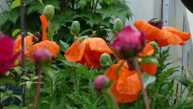 Je vous présente  mon jardin  26juin2011011