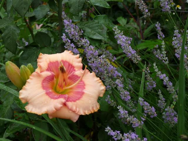 Je vous présente  mon jardin  2aout2011038