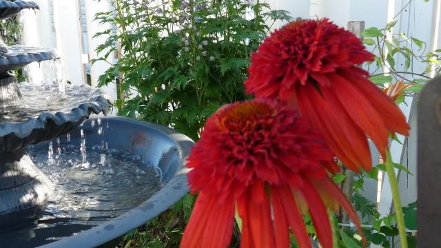 Je vous présente  mon jardin  30juillet005-1