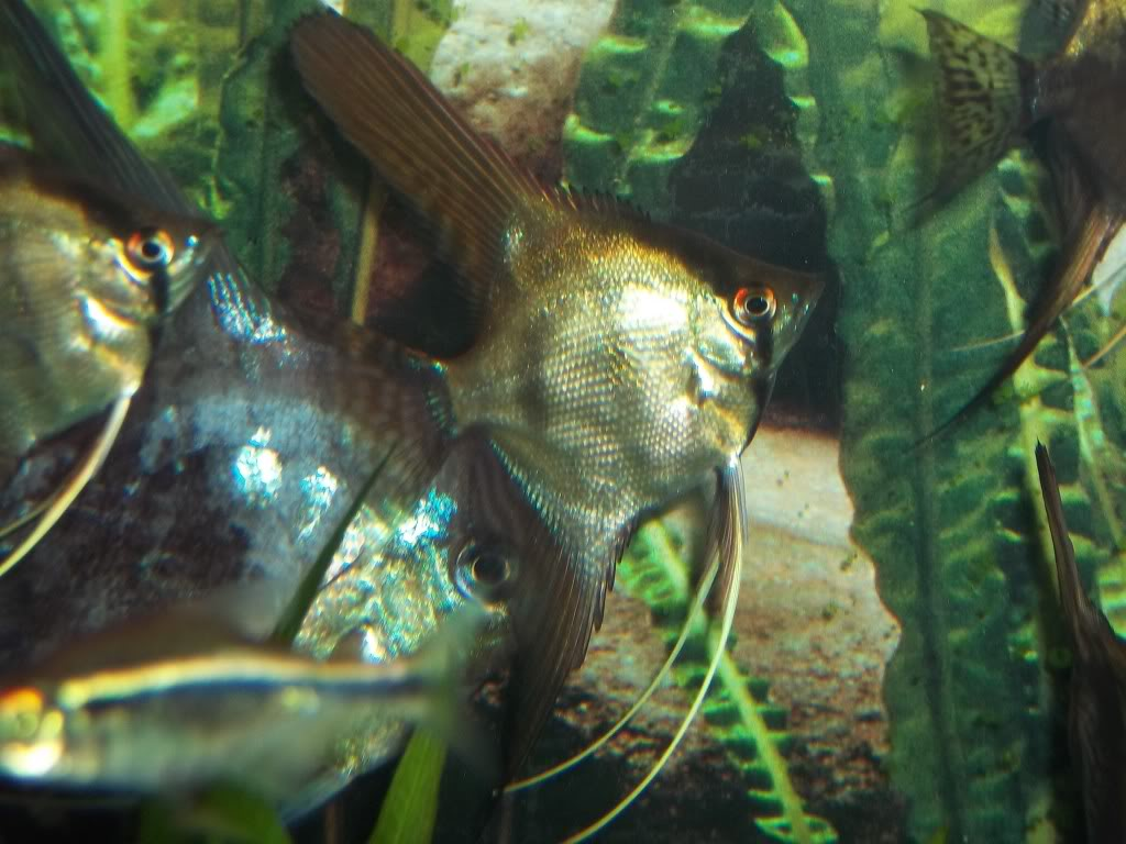 Looking For some AngelFish ........... Any for Sale ? 100E4894