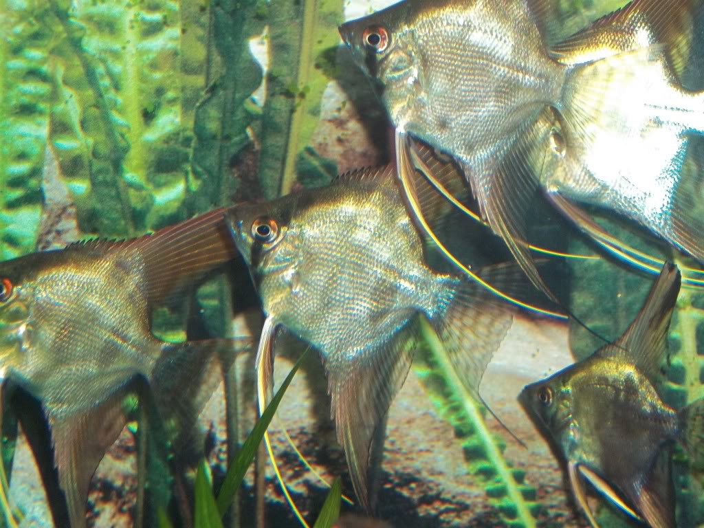 Looking For some AngelFish ........... Any for Sale ? 100_4804-1