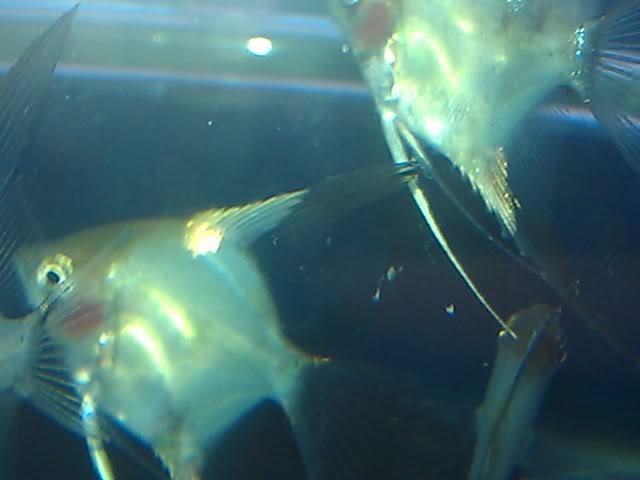 BLUE KOI AND BLUE KOI PARAIBA IMAG2089