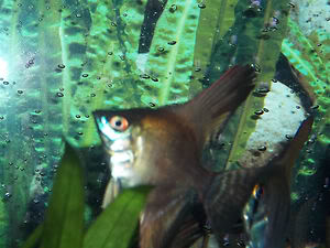Looking For some AngelFish ........... Any for Sale ? KGrHqFicE9h_YidgtBPkwYvsUvg60_35