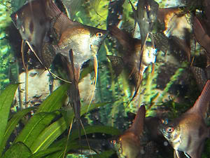 Looking For some AngelFish ........... Any for Sale ? KGrHqFjME9IW8lhr6BPkwYpfnhw60_35