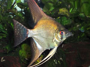 Looking For some AngelFish ........... Any for Sale ? KGrHqNicE9W5IY-4NBPkwYgez60_35-1