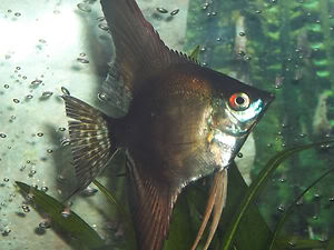 Looking For some AngelFish ........... Any for Sale ? KGrHqRqcE88ftSuMBPkwYFV2Jw60_35