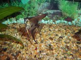 Pinoy Ghost and Blue Ghost Juveniles Th_100_4536