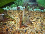 Pinoy Ghost and Blue Ghost Juveniles Th_100_4555-1
