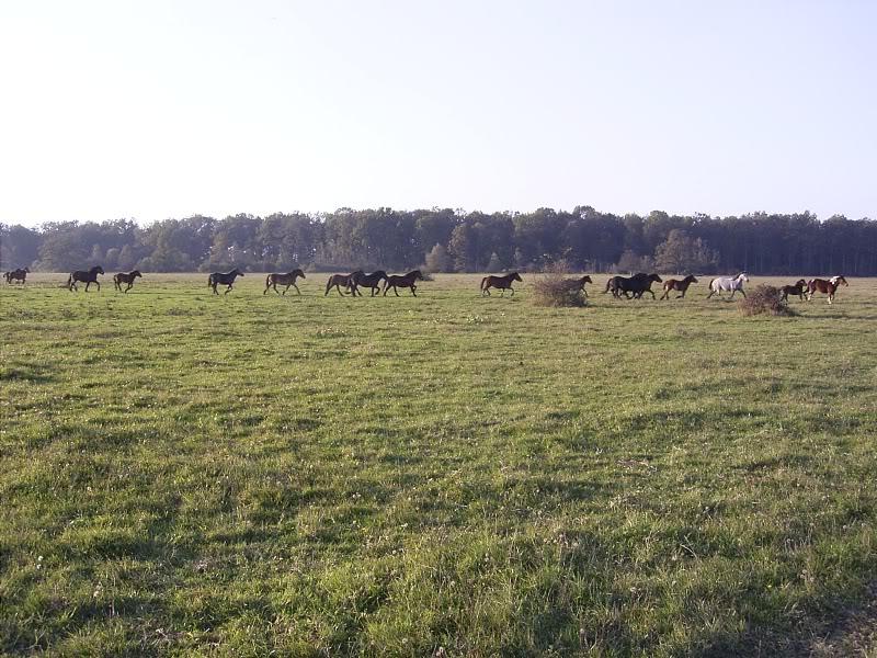 Gredsko polje-Konji R0014544