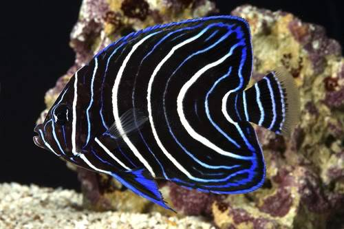 What juvenile angelfish is this?? Koran_Angelfish
