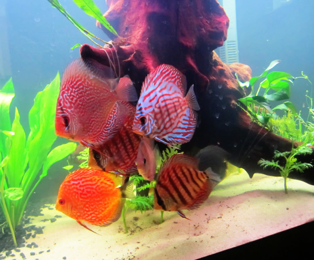 Dan\'s 75G Planted Discus Tank - Page 1