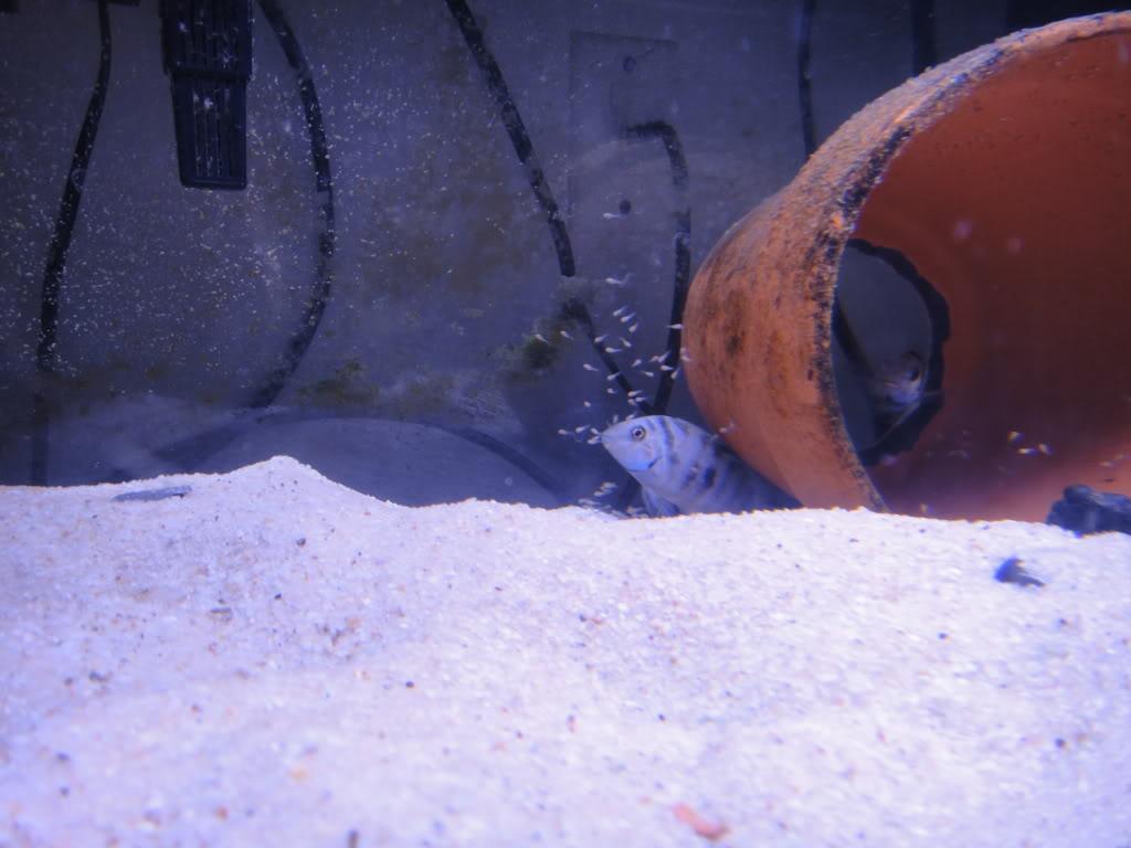 "Cryptoheros sp. ""Honduran Red Point"" breeding video 4thSpawn01-21-125"