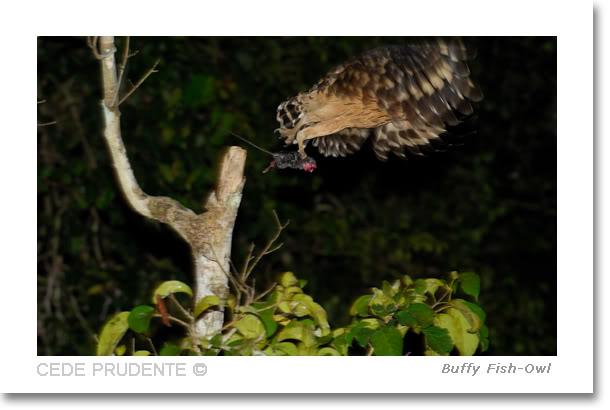 Strigformes: Famíla Strigidae- sub fam. Buteonidae. Género Ketupa (por vezes incluído em Bubo) Buffyfishowl