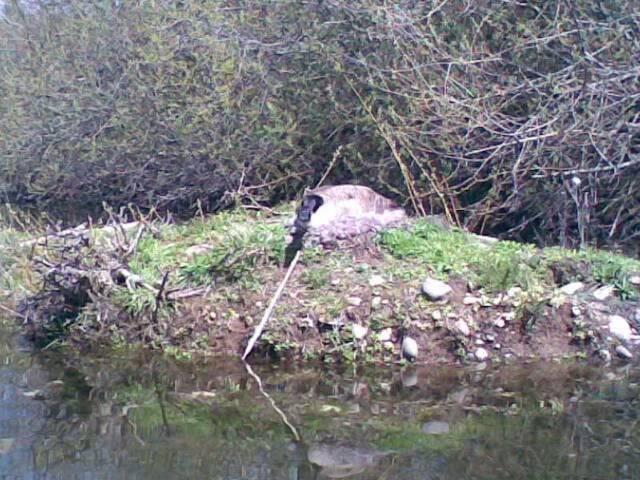 Wildlife Pics Goose