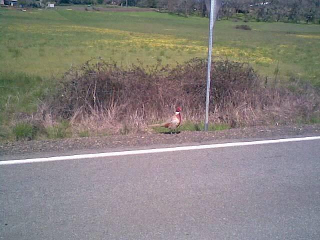 Wildlife Pics Pheasant