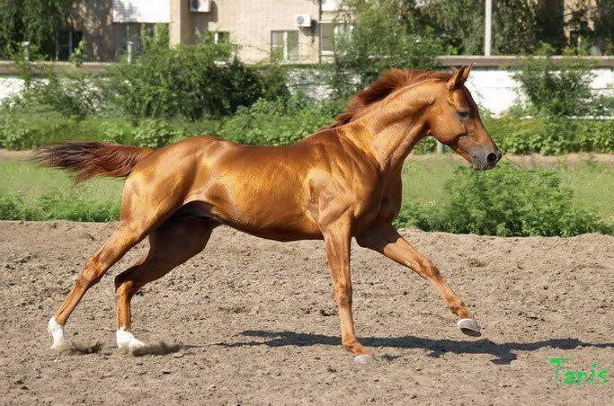 [P] Gold Tanis Moxie F158f835