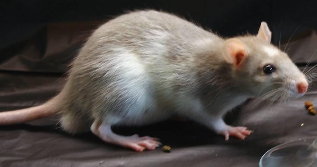 Eight New Ratties IMG_5118