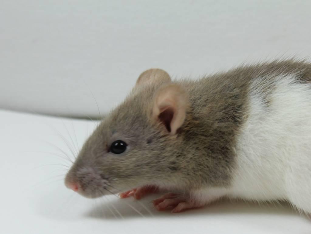 Eight New Ratties IMG_4440