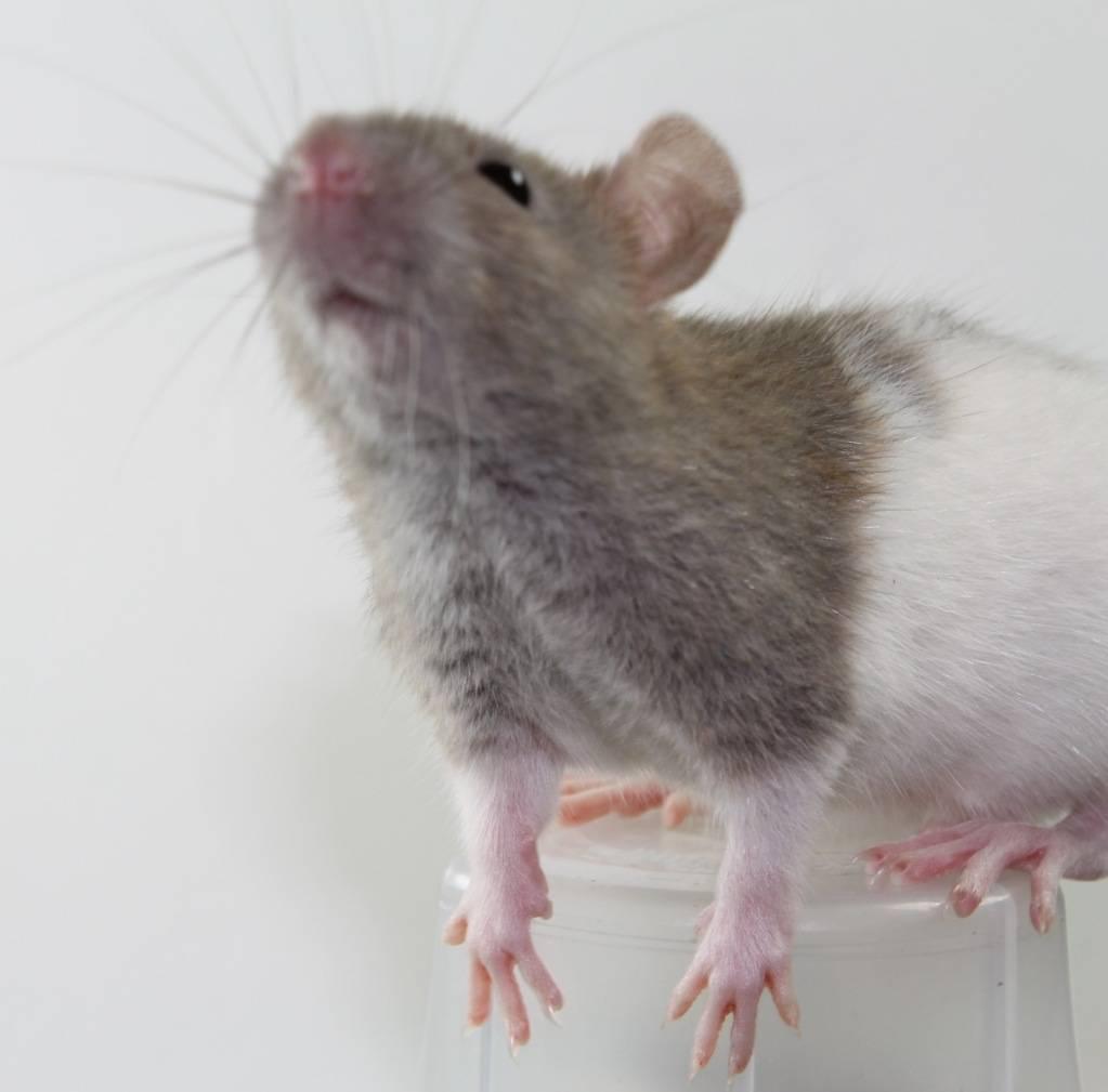 Eight New Ratties IMG_4452