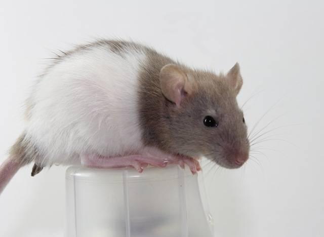 Eight New Ratties IMG_4457