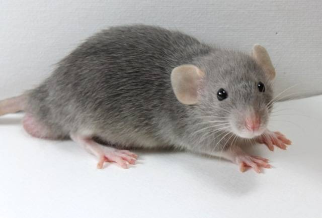 Eight New Ratties IMG_4462