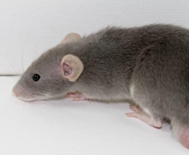 Eight New Ratties IMG_4464