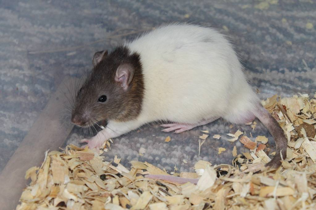 Eight New Ratties IMG_4490