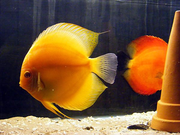 New Discus Pair - Albino Solid Yellow x Red Melon DSCF3079