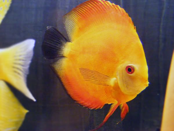 New Discus Pair - Albino Solid Yellow x Red Melon DSCF3083