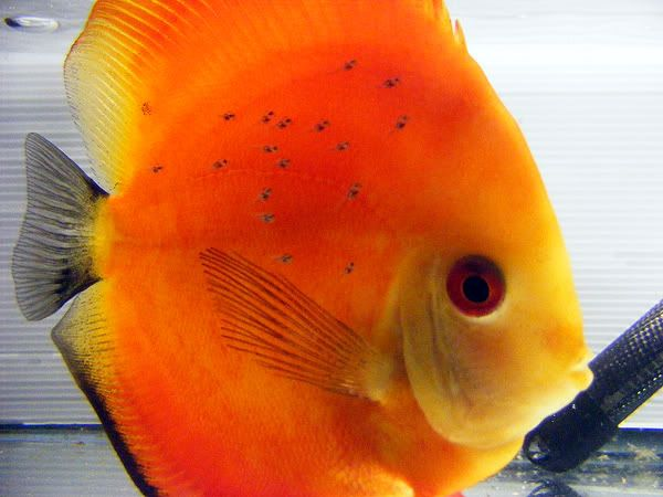 New Discus Pair - Albino Solid Yellow x Red Melon 7