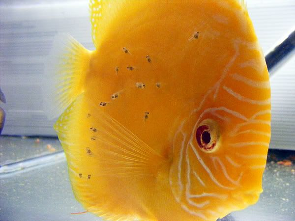 New Discus Pair - Albino Solid Yellow x Red Melon 8a