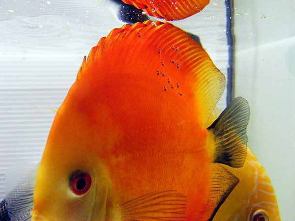 New Discus Pair - Albino Solid Yellow x Red Melon DSCF3183
